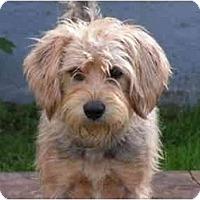 Adopt A Pet :: Brady - Rigaud, QC