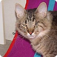 Adopt A Pet :: Pirate - wonderful cat!! - Scottsdale, AZ