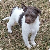 Adopt A Pet :: Sprocket - Brattleboro, VT