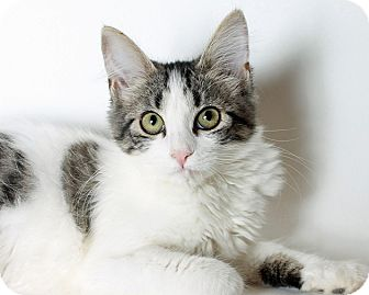 Domestic Shorthair Cat for adoption in Mountain Center, California - Mint Julip