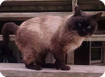 Siamese Cat for adoption in Rochester, Michigan - George