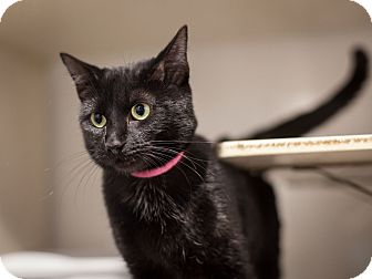 Domestic Shorthair Cat for adoption in Dallas, Texas - Patty Cakes