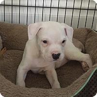 Adopt A Pet :: Dorito - Hainesville, IL