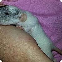 Adopt A Pet :: Marshmallow - Lakewood, WA