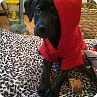 Adopt A Pet :: Ivy - Randolph, NJ