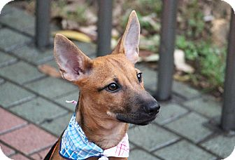 Canaan Dog/German Shepherd Dog Mix Puppy for adoption in San Francisco, California - Levi