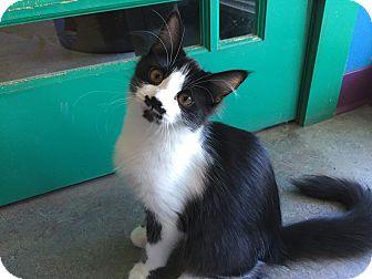 Domestic Mediumhair Cat for adoption in Topeka, Kansas - Toots