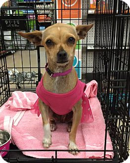 Chihuahua Mix Dog for adoption in Schertz, Texas - Bootsie