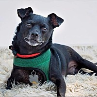 Chihuahua Dog for adoption in Freeport, New York - Rocky