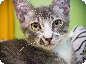 Domestic Shorthair Kitten for adoption in Los Angeles, California - Coney