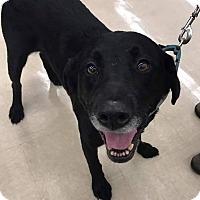 Labrador Retriever Mix Dog for adoption in Richmond, Virginia - AJ