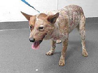 Australian Cattle Dog Mix Dog for adoption in Beverly Hills, California - Bullet