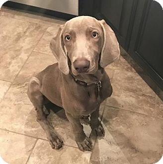 Weimaraner Puppy for adoption in Denton, Texas - Navan