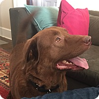 Adopt A Pet :: Scout - Bedford Hills, NY