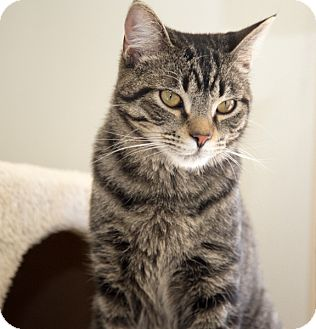 Domestic Shorthair Cat for adoption in Martinsville, Indiana - Phoenix