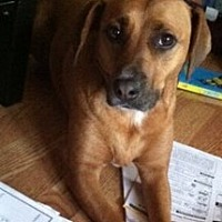 Beagle/Hound (Unknown Type) Mix Dog for adoption in Schaumburg, Illinois - Georgie-Courtesy posting