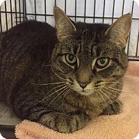 Adopt A Pet :: Mittens - Norwalk, CT