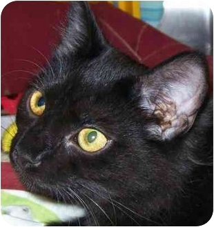 Domestic Mediumhair Cat for adoption in Annapolis, Maryland - Mork