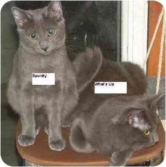 Russian Blue Cat for adoption in Belton, Missouri - Spunky