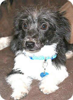 Dachshund/Terrier (Unknown Type, Small) Mix Dog for adoption in Bellflower, California - Ziggy