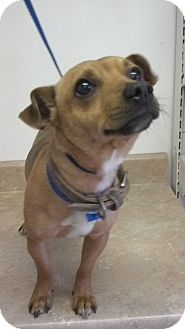 Dachshund Mix Dog for adoption in Waldorf, Maryland - Stewart #378