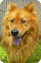 Pomeranian/Chow Chow Mix Dog for adoption in Lincolnton, North Carolina - Smokey