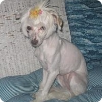 Adopt A Pet :: Snowy (fostered in NH) - Gilford, NH