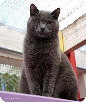 Russian Blue Cat for adoption in Tucson, Arizona - Dell