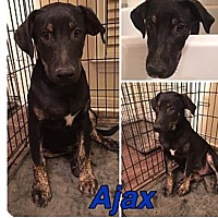 German Shepherd Dog/Catahoula Leopard Dog Mix Dog for adoption in PARSIPPANY, New Jersey - AJAX