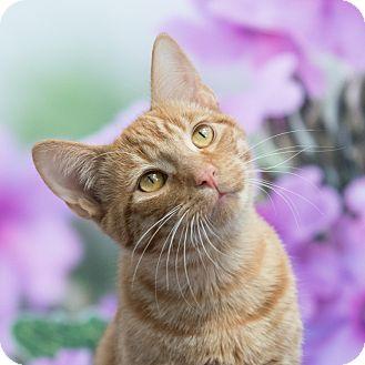 Domestic Shorthair Cat for adoption in Houston, Texas - Teddy