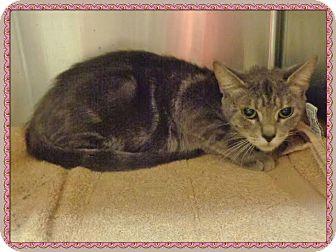 Domestic Shorthair Cat for adoption in Marietta, Georgia - ARROW