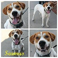 Adopt A Pet :: Seamus - Garden City, MI