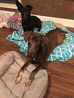 Labrador Retriever Mix Dog for adoption in Snyder, Texas - Frankie