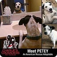 Adopt A Pet :: Petey - Spring City, PA