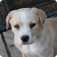 Adopt A Pet :: Cotton - kennebunkport, ME