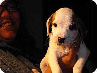 Boxer Mix Puppy for adoption in Alamosa, Colorado - Jill