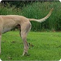 Adopt A Pet :: Fawnzie (Fawnzi's Scheme) - Chagrin Falls, OH