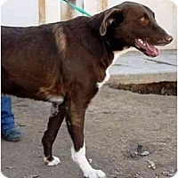 Adopt A Pet :: Copper - Gilbert, AZ