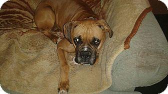 Boxer Dog for adoption in Hesperia, California - Rory