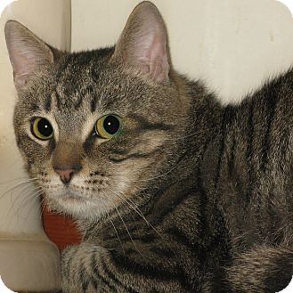 Domestic Shorthair Cat for adoption in Bedford, Virginia - Biff