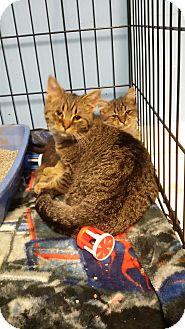 Domestic Shorthair Kitten for adoption in Kalamazoo, Michigan - Beast - Chelsea