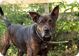 Catahoula Leopard Dog/Australian Cattle Dog Mix Dog for adoption in Washington, D.C. - BRINDY
