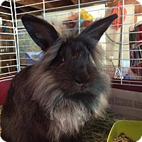 Lionhead for adoption in Greenfield, Indiana - Max