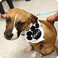 Adopt A Pet :: Miera - Cleveland, OH