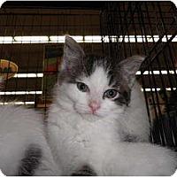 Adopt A Pet :: Cadence - Warren, MI