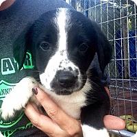 Adopt A Pet :: Tosha - Morgantown, WV