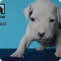 Adopt A Pet :: Shield - Chicago, IL