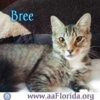 Domestic Shorthair Cat for adoption in Pensacola, Florida - Bree