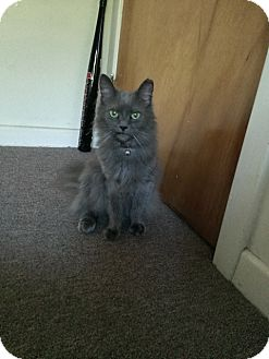 Domestic Longhair Cat for adoption in Mesa, Arizona - Sasha