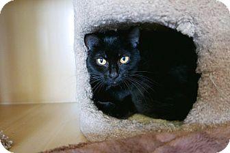 Domestic Shorthair Cat for adoption in Kingston, Washington - Friday
